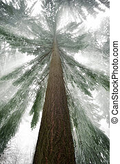 Spruce tree with cool light rays in winter - Worms eye view...