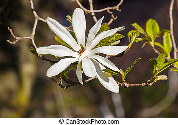 magnolia flower white color blooms in spring