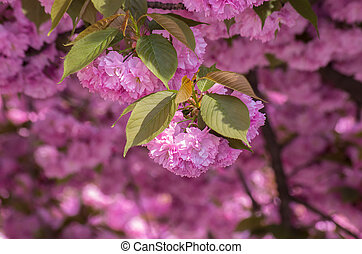 Blossoming pink sacura cherry tree branches - Blossoming...