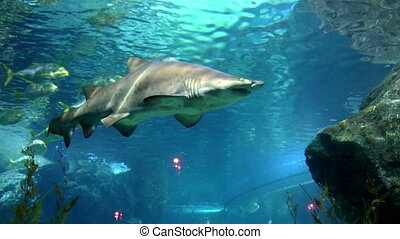 Shark over a coral reef