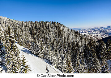 Pine trees covered with snow on Kopaonik mountain in Serbia