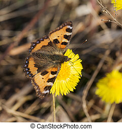 butterfly on coltsfoot - The butterfly on coltsfoot flower...