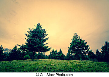 Pine trees in the sunset