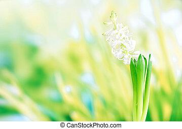 Hyacinth flower in green grass