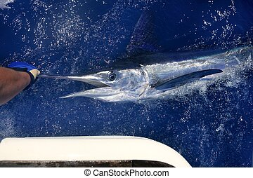 Atlantic white marlin big game sport fishing over blue ocean...