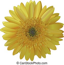 vector image sunny bright yellow Barberton daisy (Gerbera...
