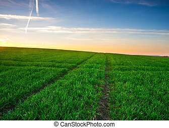 Young cereal field sunset - Beautiful young cereal field...