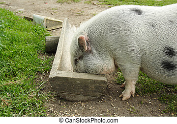pig - small pig eats from trough