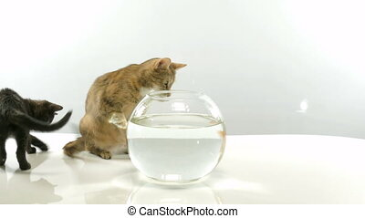 Kitten and goldfish - Cats have an aquarium with goldfish on...