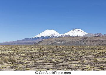 Group of vicuña (Vicugna vicugna) or vicugna