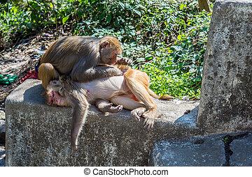 Picos, macaco, outro, piolhos