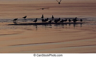 Oystercatchers Water Birds Silhouette in Sunrise light