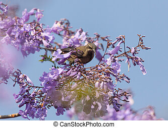 A bird in the branches of Jacaranda - Ethiopia, Addis Abaab,...
