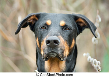 easter dog - a portrait of a black doberman in front of a...