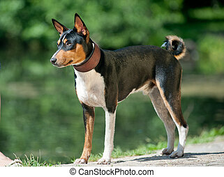tricolor basenji standing in hot summer day