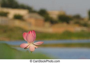 Blossoming Caspian lotus in Volga delta