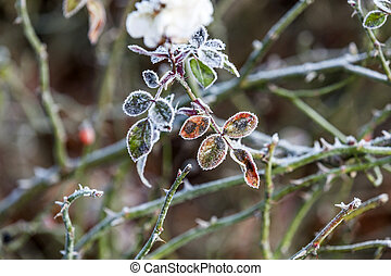 rose flower plant in winter with ice - icy rose flower plant...