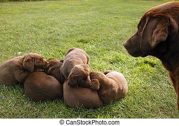 Marrom, labrador, retriever, cão, lixo, Filhotes...