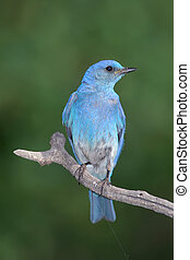 Blue bird - blue bird on pirch
