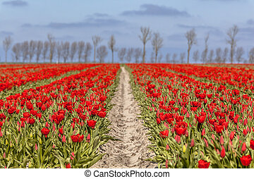 Field of red tulips with trees on the horizon on a sunny day