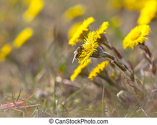 Fly on Spring messenger Coltsfoot
