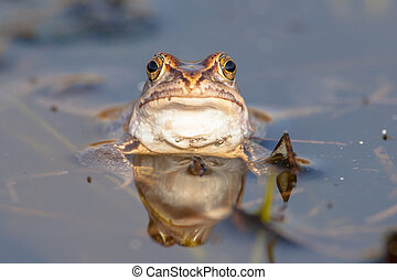 Stubborn frog head frontal view - Facing head of a Moor frog...