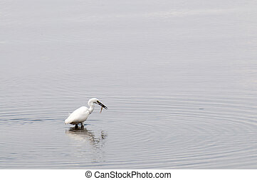 Young Whooping Crane