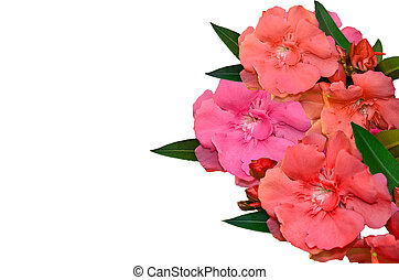 Sweet Oleander - Many color Sweet Oleander flower on white...