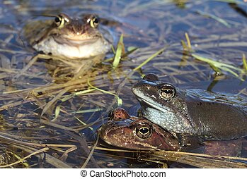 Copulation of The common frog Rana temporaria mating, also...