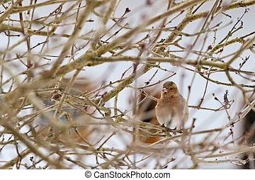 Cute female Common Chaffinch on a tree in Europe - Cute...