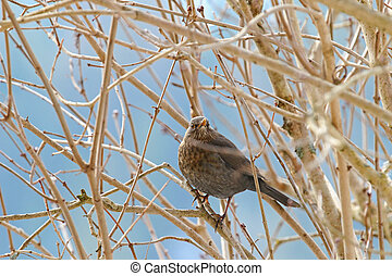 Female Eurasian Blackbird, Common Blackbird with yellow eye...