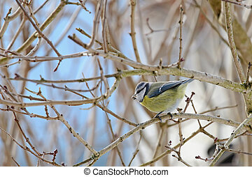 Cute Eurasian Blue Tit bird on a branch with sunflower seed...