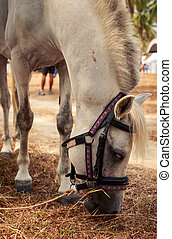 closeup white horse with harness eats dry grass near beach -...