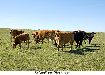 Limousin Cattle grazing in a paddock