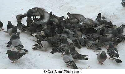 feeding flocks of pigeons in the Park in winter