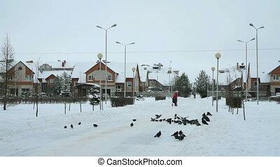 feeding flocks of pigeons in the Park in winter hd
