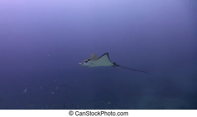 Stingray swims in the water in search of food Amazing,...