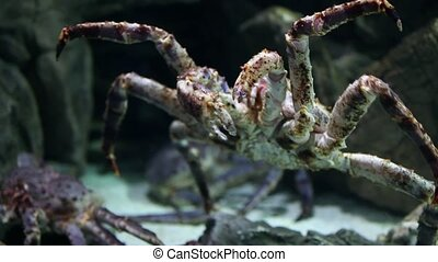 Giant Crab - sea monster Giant crab closeup