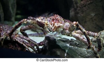 Crab sea monster - Kamchatka crab closeup