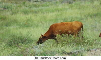 Brown cows on pasture - Brown cows on mountain pasture...