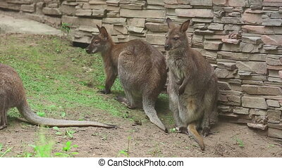 Kangaroo family at the Zoo, Novosibirsk