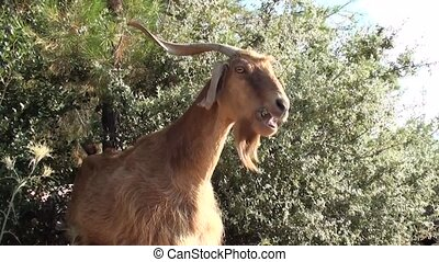 Goat chewing bushes - A goat is grazing bushes