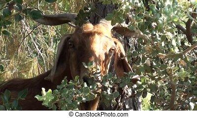 Head of a goat in bush