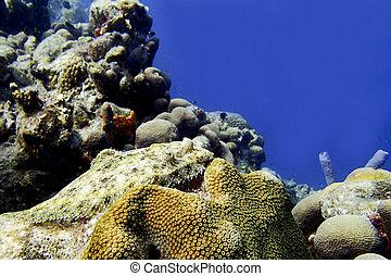 flądra, koral, rafa