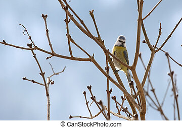 Blue Tit bird perching on a branch during Winter in Europe -...
