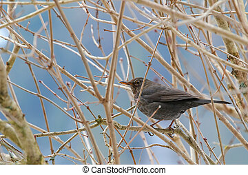 Female Eurasian Blackbird, Blackbird with yellow eye ring...