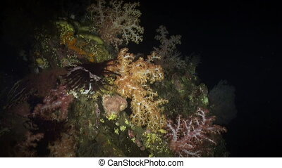 Soft coral in light of a lantern at night on reef Amazing,...