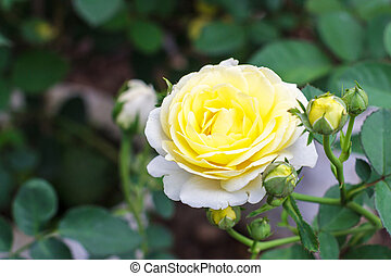 White yellow roses in the garden