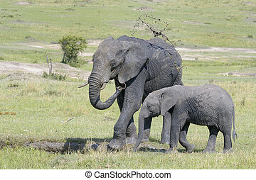 African Elephant (Loxodonta africana) standing together and...