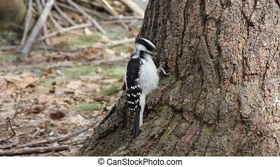 Woodpecker - Downy Woodpecker